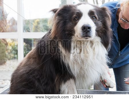 Cutting Claws Of Border Collie Dog By Professional Groomer. Dog Is Sitting On The Table And Looking