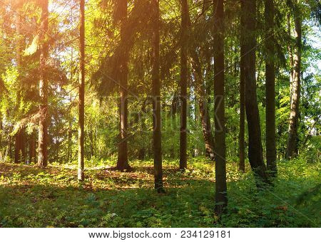 Forest Spring Landscape. Forest Trees In Sunlight. Row Of Pine Forest Trees In The Dense Spring Fore