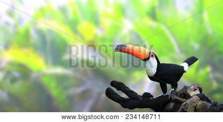 Horizontal banner with beautiful colorful toucan bird (Ramphastidae) on a branch in a rainforest. On blurred background of green color