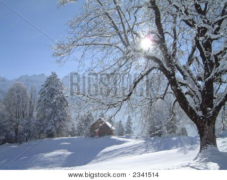 Winter Landscape With Maple And Pine Trees And Falling Snow