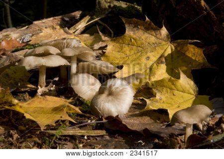 Mushrooms Growing Between Autunm Leaves