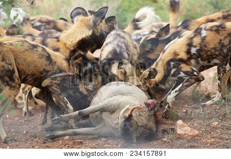 A Pack Of African Wild Dogs Eating A Warthog