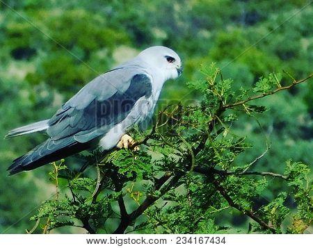 Wildlife Photo - Small Falcon Bird In The Pilanesberg Natuonal Park