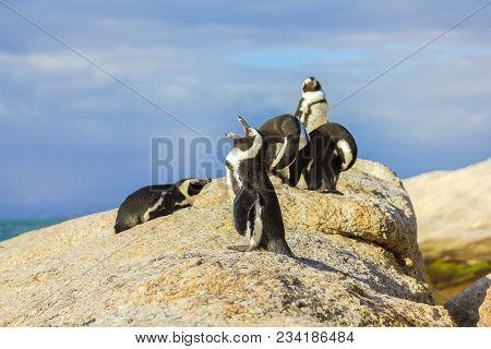 Penguins In Boulder Beach