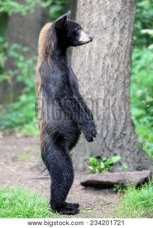 Profile Image Of An American Black Bear, Standing On Its Hind Legs