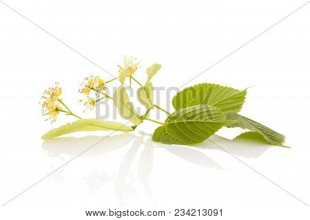 Linden Flowers With Leaves Isolated On White Background With Reflection.