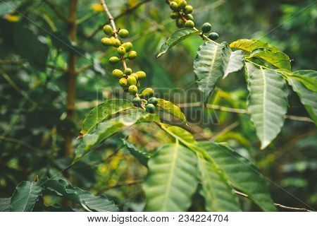 Cultivated Local Coffe Plantage. Branch With Green Coffee Beans And Foliage. Santo Antao Island, Cap