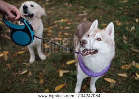 Dogs On Walk In Autumn Park. They Are Waiting For Owner Command. Concept Of Pet Training