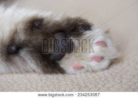 Close-up Of Kitty Palm Paw. Black And White Cat Paw