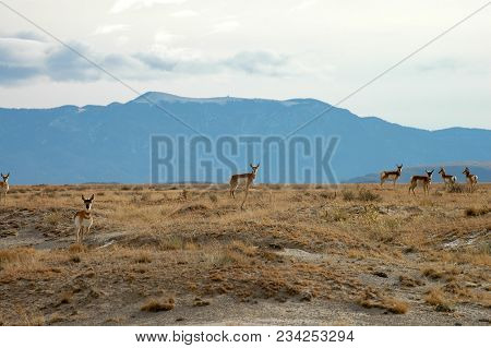 A Small Herd Of Pronghorn From New Mexico Stop And Look At The Photographer, With Mountains And Sky