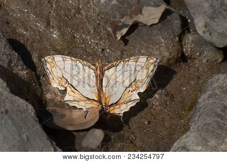 Common Map Butterfly (cyrestis Thyodamas - Boisuval) Mud Puddling , Ie, Sucking Up Fluid From Moist