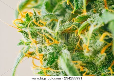 Cannabis bud, medicinal marijuana cbd thc. Concepts of legalizing herbs weed, Macro shot with sugar trichomes, buds grown cannabis in the house, Bud cannabis before harvest poster