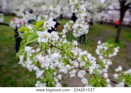 White Sakura (cherry Blossom) Blooming On A Branch Of Tree With Sky View, Spring Traveling In Japan