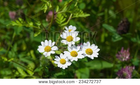 White And Yellow Flowers Of Ferevfew Pyrethrum Or Tanacetum Corymbosum Close-up With Bokeh Backgroun
