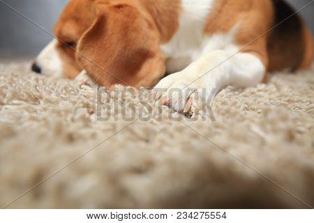 Tender Background Of Home Comfort. Beagle Dog Sleeping On Soft Fluffy Carpet. Dog Paw On Carpet Clos