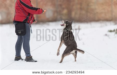 Mongrel Dog In Training With Owner