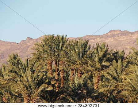 Landscapes Of Green Palm Trees In Oasis In Central Morocco In Old Village Of Oulad Near City Of Zago