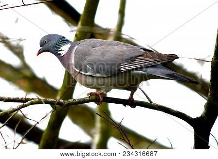 Wood Pigeon, A Large Dove Species In Tree