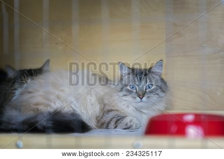 Adorable Fluffy Cat, Of Siberian Breed With Beautiful Blue Eyes, Lying On Cage In A Shelter As On Ca