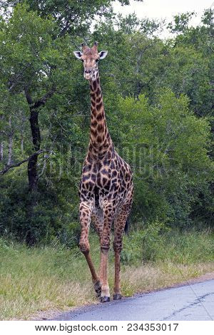 Portrait single giraffe standing in front of green trees at Imfolozi-Hluhluwe Game reserve in Zululand, KwaZulu Natal in South Africa poster
