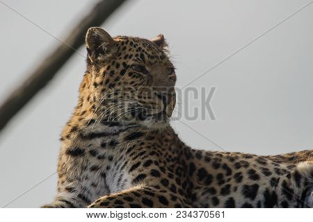 Close-up Photo Portrait Of A Chinese Leopard