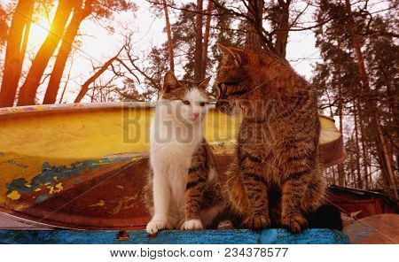 Two White And Grey Cats On Old Soviet Boat Station. Shabby Scratched Brown Yellow Blue Boats. Sunny