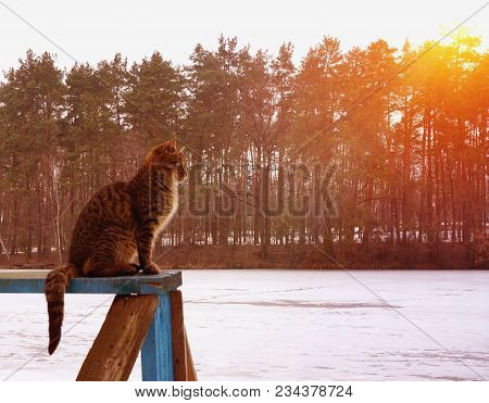 Grey Cat Sits On Wooden Board And Looking Forward. Snow Spring Forest With Ice On Lake River Surface