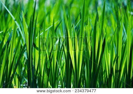 Swamp grass or plant (Sweet flag or calamus (Acorus calamus)) leaves glistening in the sun.