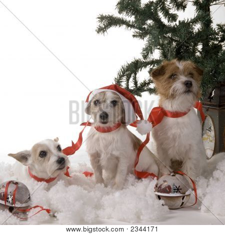Three dogs sitting by the christmas tree poster