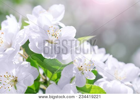 Blossom Blooming On Tree In Springtime. Apple Tree Flowers Blooming. Blossoming Apple Tree Flowers W