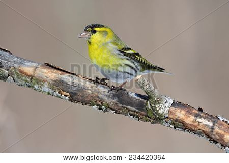 Male Of Eurasian Siskin (spinus Spinus) Sits On An Old Branch: Very Close, Can See Every Feather, Gl
