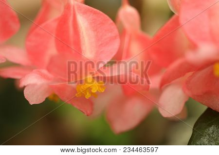 Small Delicate Salmon Colored Tropical Flowers With Yellow Centers