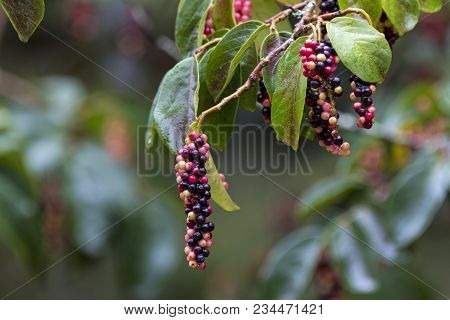 Close Up Of Colorful Red Black And Yellow Fruit Green Leaves And Branches Of The Tassel Berry Tree I