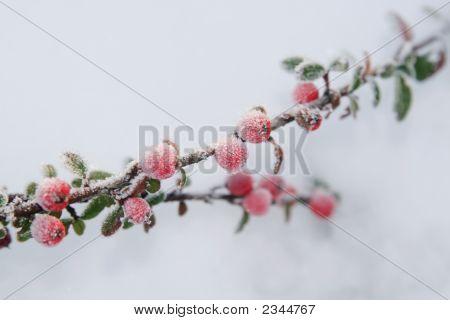 Winter Holly Berries
