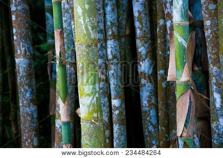 Green Bamboo Trees Formed A Beautiful Lines And Pattern