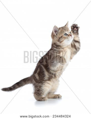 Funny Kitten Cat Standing With Raised Paw Isolated On White Background
