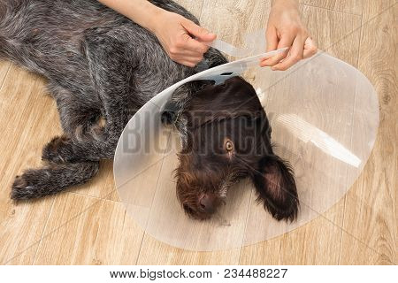 Hands Putting On The Dog Plastic Elizabethan (buster) Collar