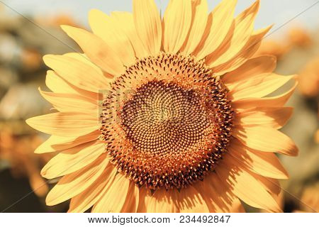 Sunflower Close-up In Retro Style Or Vintage For Design And Creativity. Sunflowers Texture And Backg