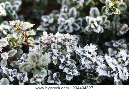 The Last Cold Breath Of Winter On The Awakened Thyme. Fluffy Hoarfrost Will Turn Into Life-giving Mo