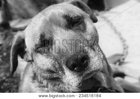 Poor Stray Dog Are Captured - Black And White