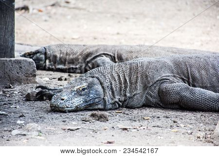 Komodo Dragon. A Huge Animal With A Tail, Like A Large Lizard, Lies On The Ground