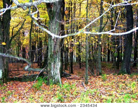 Tree In Woods In Fall