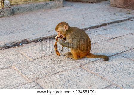 Macaque Monkey Eating Banana At Swayambhunath Stupa (the Monkey Temple), Kathmandu, Nepal