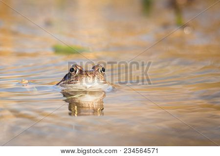 Common Brown Frog And Eggs In Spring. Wildlife Scene From Nature.  Animal In The Nature Habitat. Com