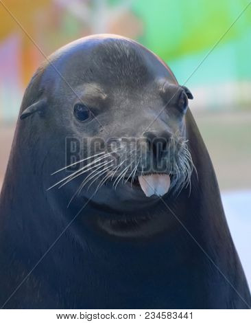 A Portrait Of A California Sea Lion Sticking Out Its Tongue, Zalophus Californianus