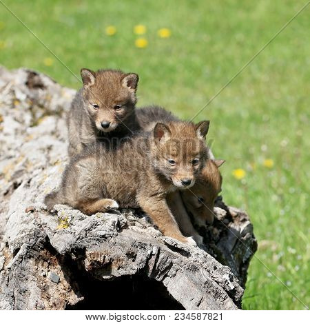 Young, Coyote Pups Play On Top Of A Hollowed Log