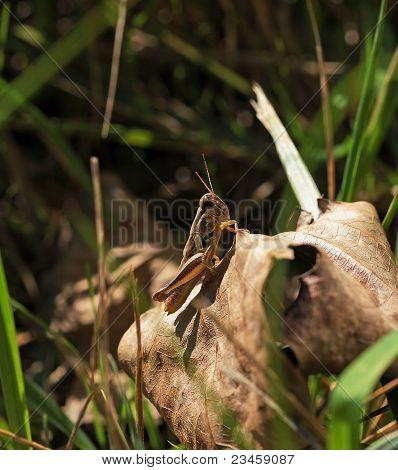 Autumn Spur-Throated Grasshopper