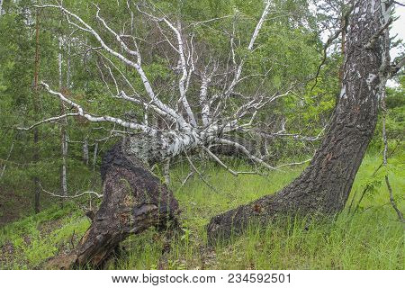 The Trunk Of A Large Birch Tree In A Forest, Fallen By Hurricane