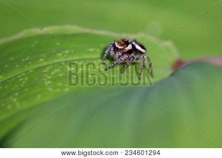 Spider Salticidae Sits On The Green Leaf