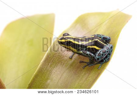 Small yellow striped poison dart frog, Ranitomeya ventrimaculata Rodyll from the Amazon rain forest in Peru Isolated on white background